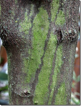 101212_moss-on-chaste-tree-trunk