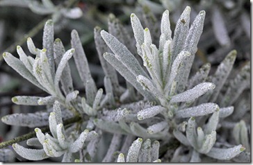 101216_lavender-with-frost