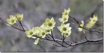 100501_yosemite_blooming_dogwoods2