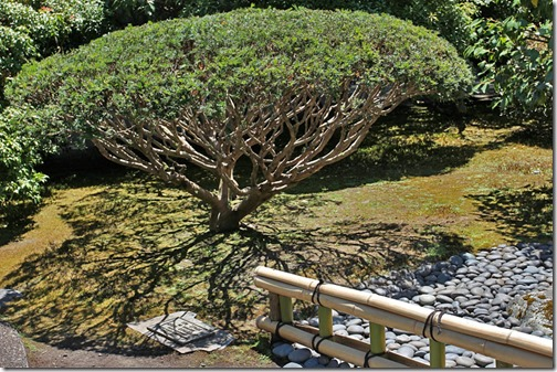 100726_Portland_Japanese_Garden_Strolling_Garden_Weeping_Cherry_01