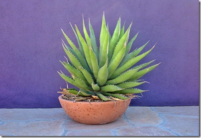 071207_agave_bowl