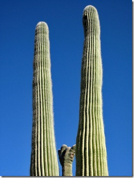 071218_saguaro_family
