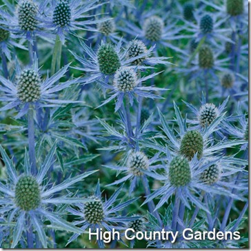 eryngium_big_blue
