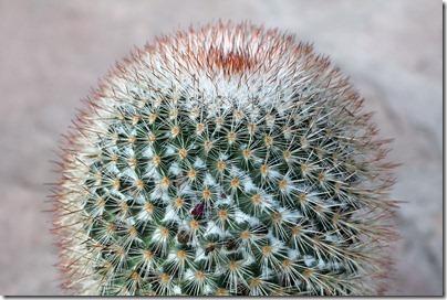 Mammillaria-spinosissima_09