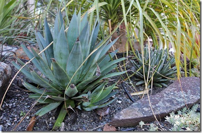 110216_agave_blue_glow_vict