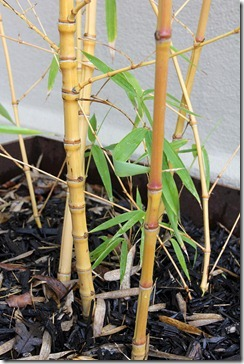 110130_phyllostachys_aurea_holochrysa3