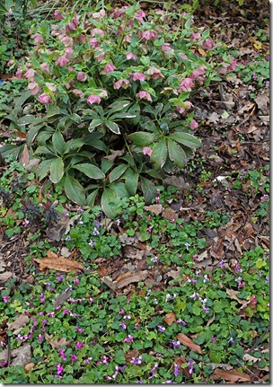 110219_violets hellebore