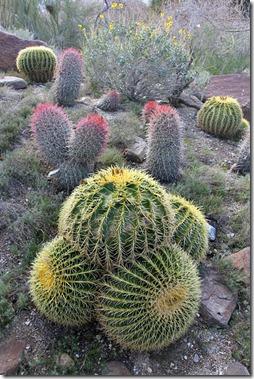 110223_living_desert_barrel_cactus_medley