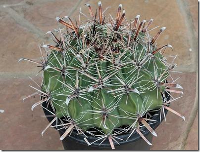 110227_ferocactus_latispinus2