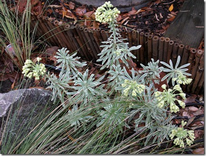 Euphorbia-characias-Glacier-Blue_3
