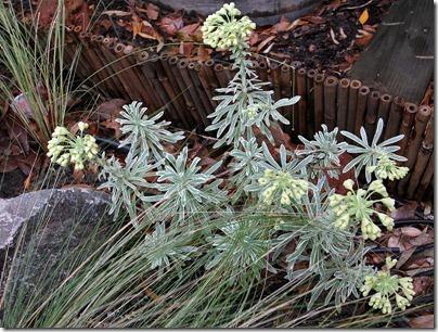 Euphorbia-characias-Glacier-Blue_3