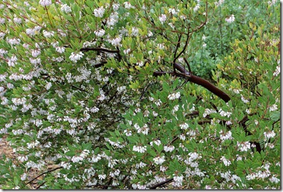Arctostaphylos-densiflora-Howard-McMinn-