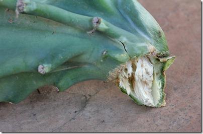 Cereus hildmannianus_01