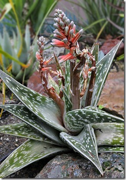 110315_Aloe-variegata_04