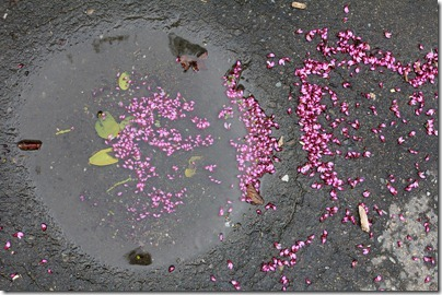 110320_redbud_blossoms_in_puddle