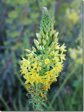 110331_Bulbine_frutescens_10