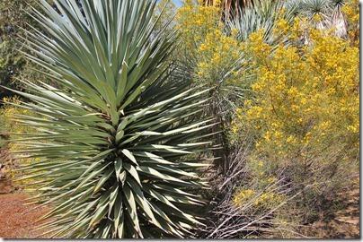 110409_Yucca-schottii