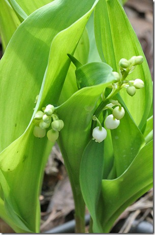110414_Convallaria-majalis_01