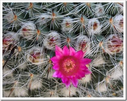110505_Mammillaria-hahniana_01