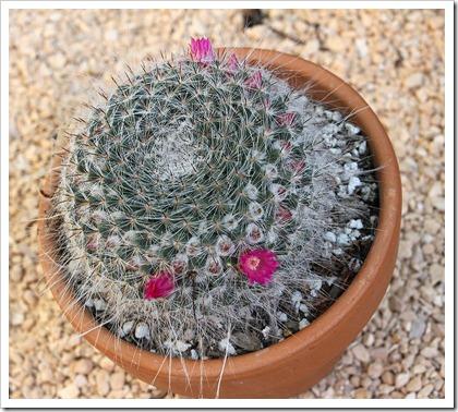 110505_Mammillaria-hahniana_02