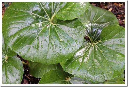 100428_farfugium-japonicum-giganteum