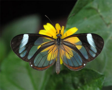 รูปภาพ ผีเสื้อ Glasswing Butterfly ผีเสื้อปีกใส สวยมากๆเลย