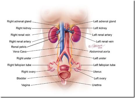Female Urinary ... Female Urinary System Anatomy