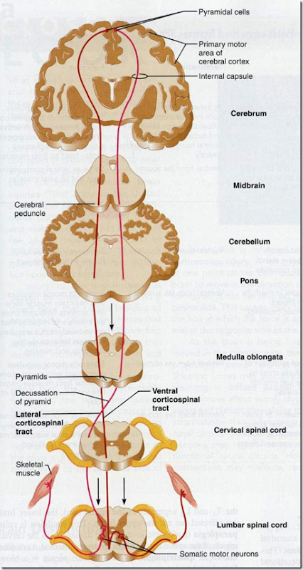 Figure 2. Corticospinal pathway (ventral)