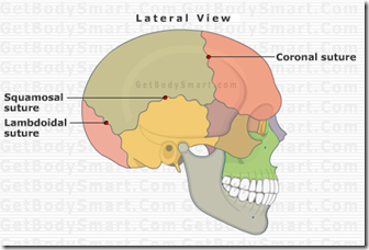 Image result for sutures of the skull
