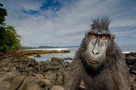 arabaquarius_macaque_461