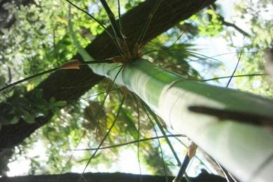 bamboo tres (6)
