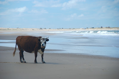 cow beach cabo polonio uruguay