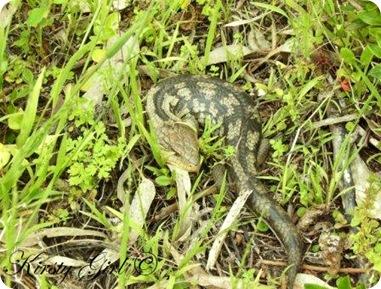 Lizard #3
