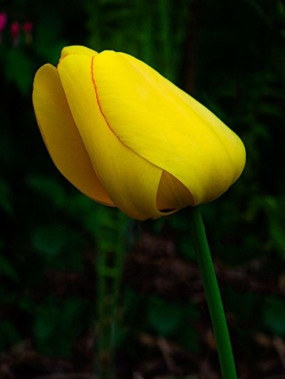 DSCF2390_tulip[1]