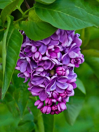 DSCF2408_lilac_grapes[1]