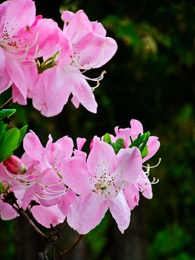 DSCF2415_rhododendron[1]
