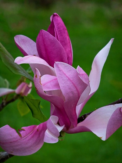 DSCF2431_magnolia[1]