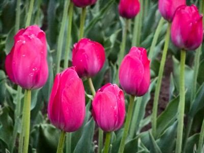DSCF2460_tulips[1]