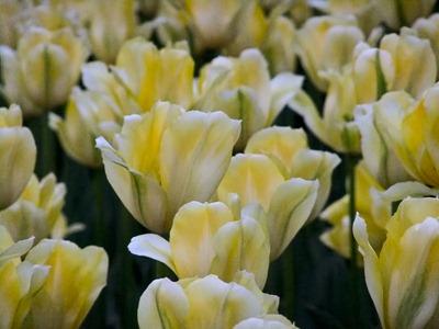 DSCF2462_tulips[1]