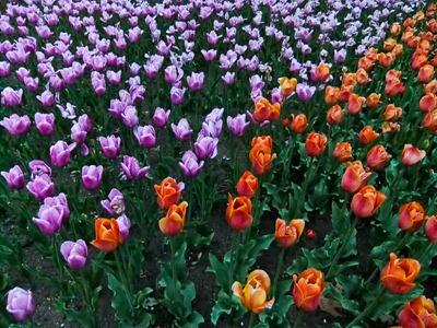 DSCF2482_tulips[1]
