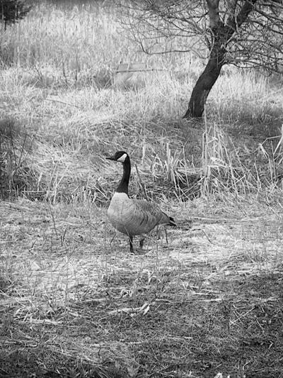 DSCF2162_goose_uncropped[1]
