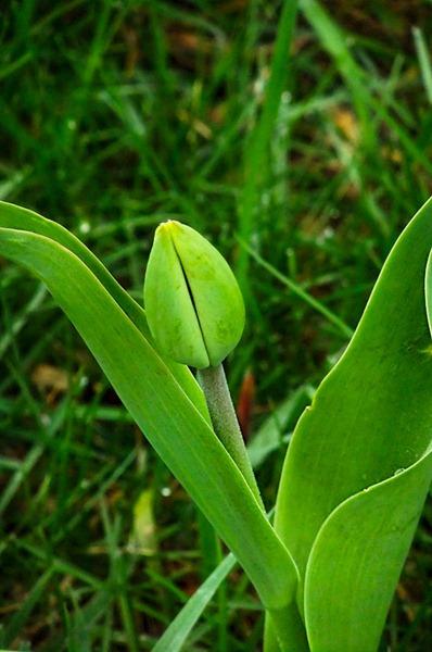 DSCF2195_tulip[1]