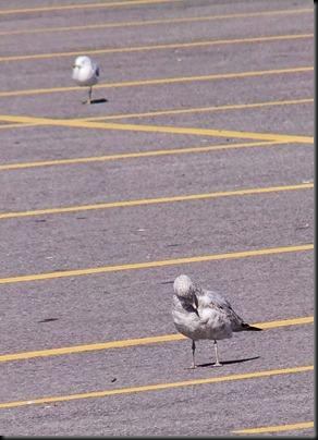 DSCF0040_seagulls[1]