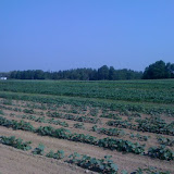 Friends of Aroostook planted close to 2 acres of land! Here you can see cucumbers corn and beans.