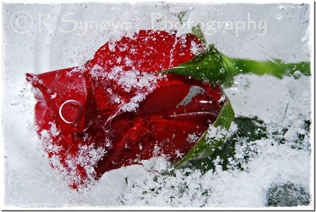 Vakker rose