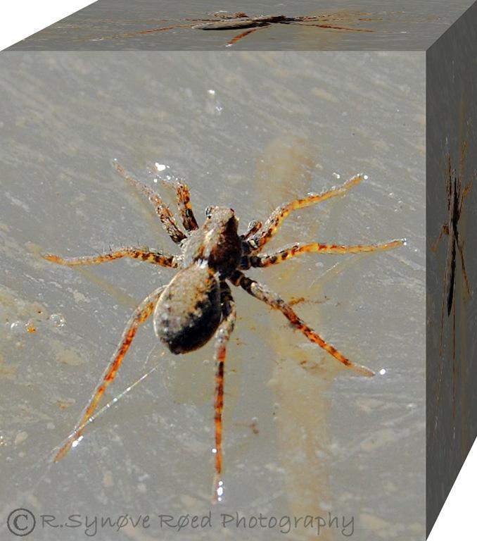 Edderkopp i vannoverflaten
