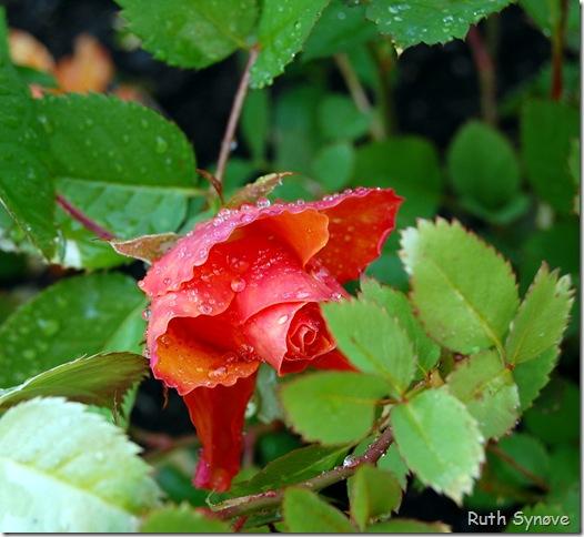 rose i orange