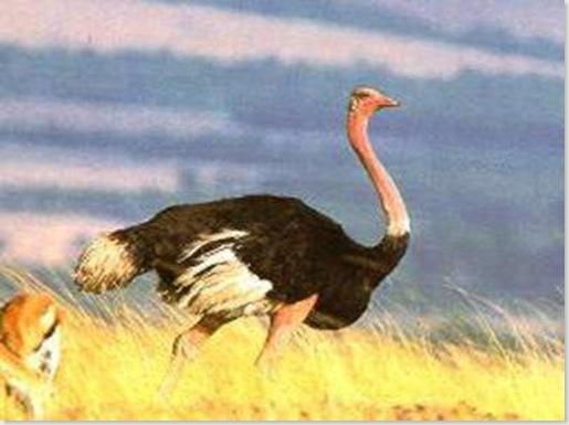 avestruzG