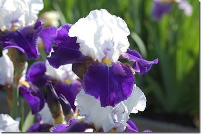 5.15 iris 1