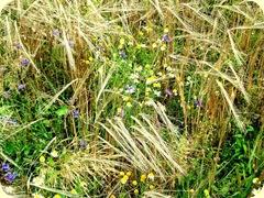 Korn und Blumen